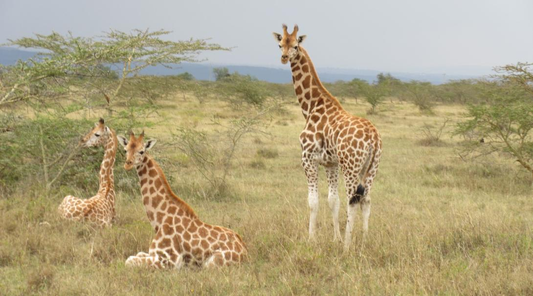 Rothschild giraffes spotted by Conservation interns in the savannah during a wildlife census in Kenya.